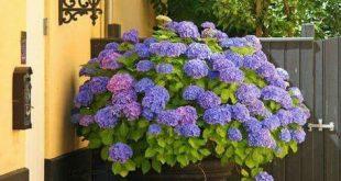 25 Hydrangea Flower Pot and Planter Arrangements (PHOTOS)